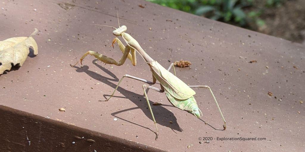 praying mantis showing its wings
