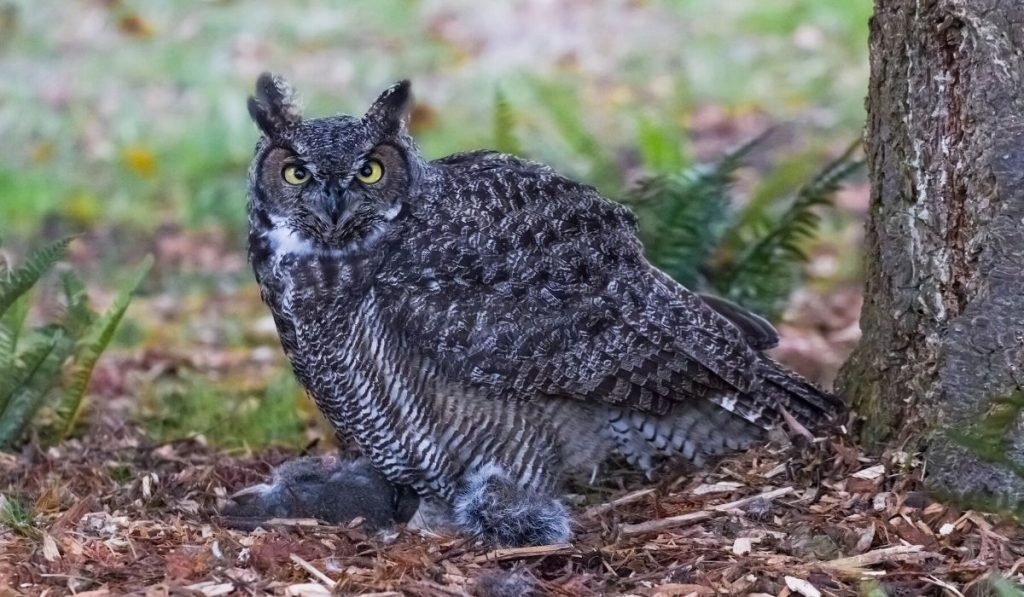 owl eating a squirrel