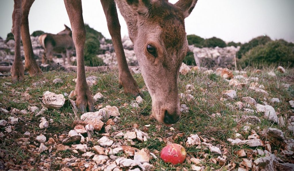 deer looking at a fallen apple