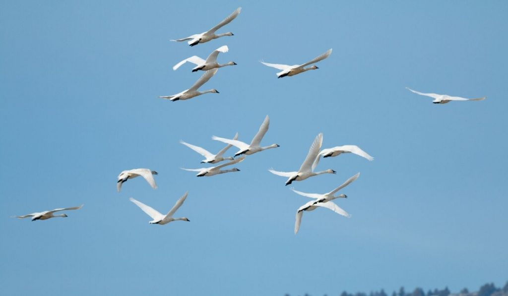swans migrating