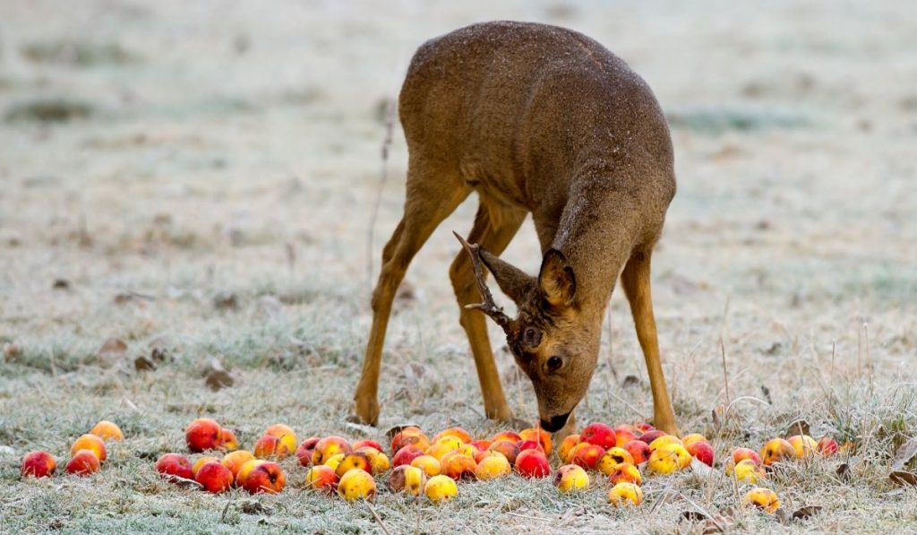 young roe buck feasting on apples