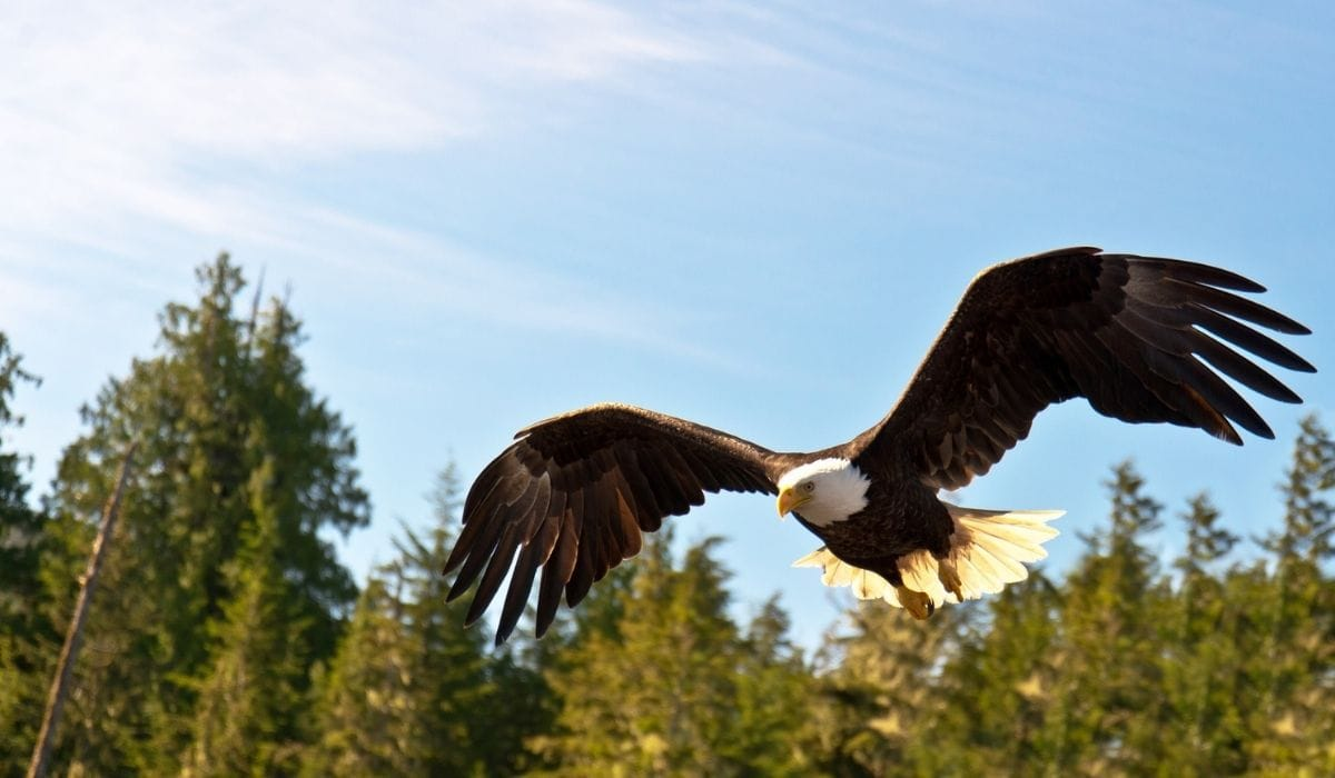 north american eagle flying