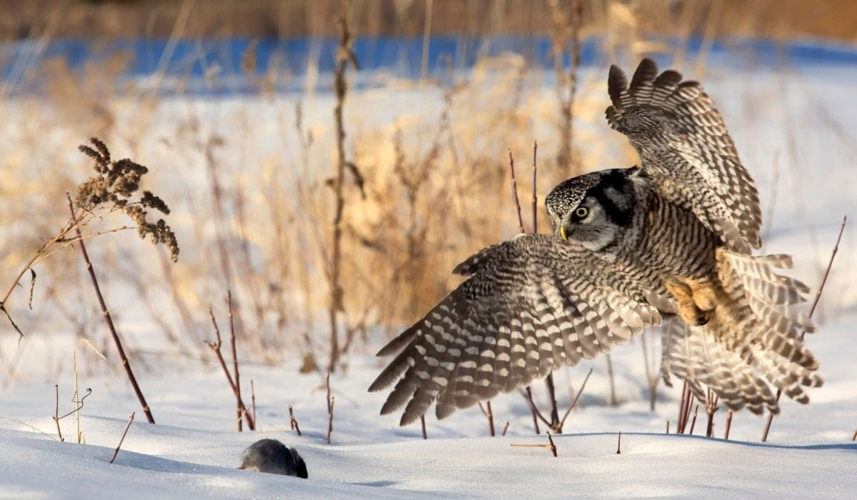 owl catching mouse
