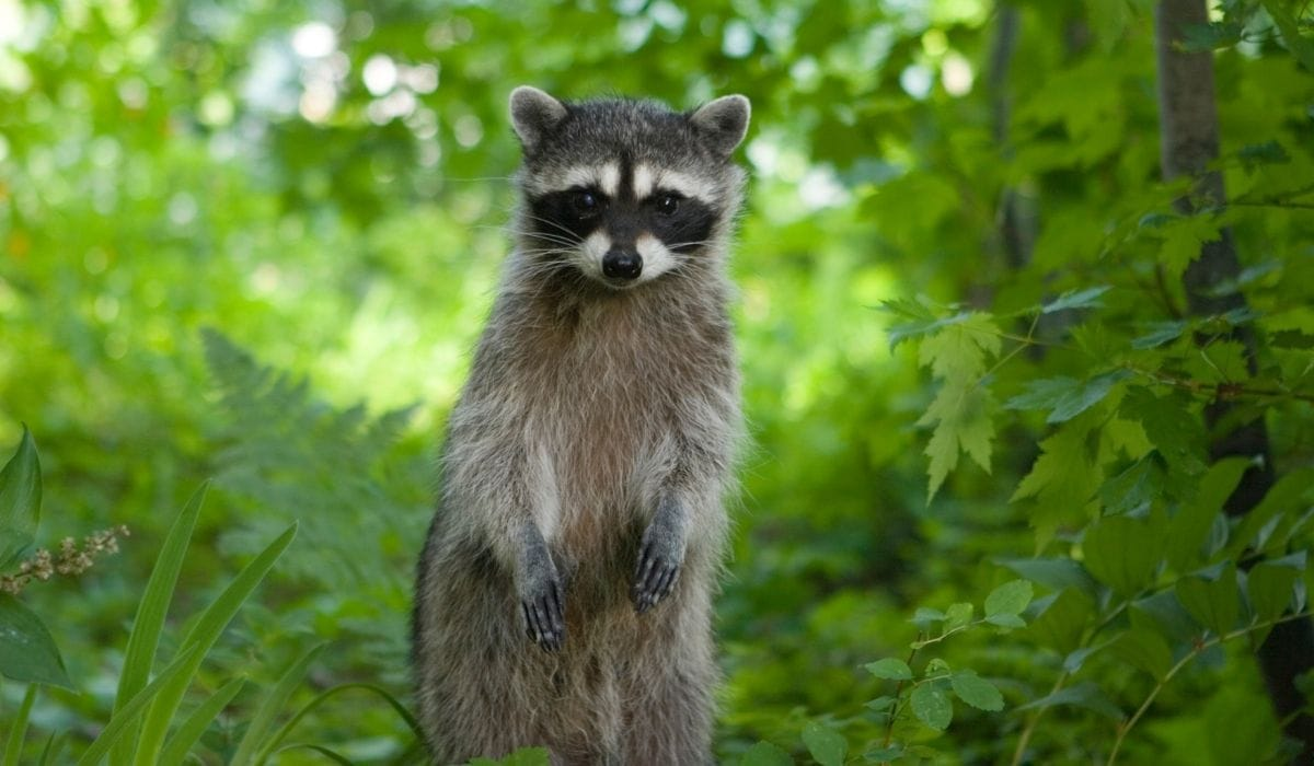 raccoon in the forest