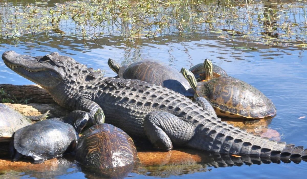 turtle and alligator together