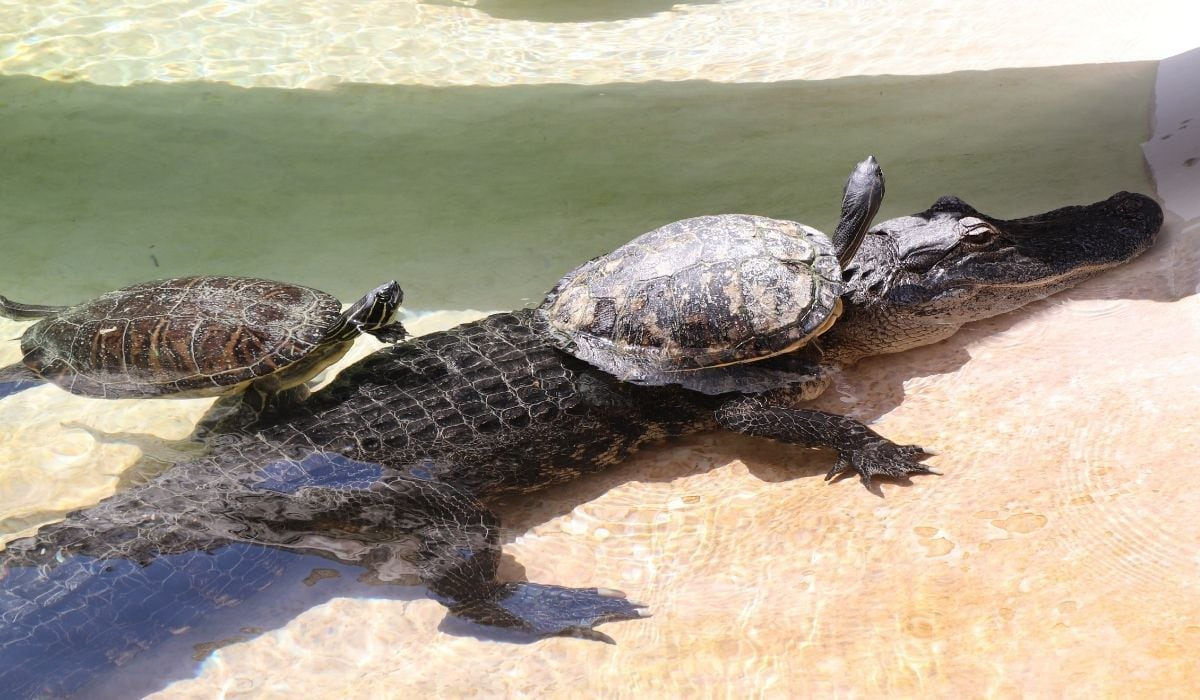 turtle riding alligator