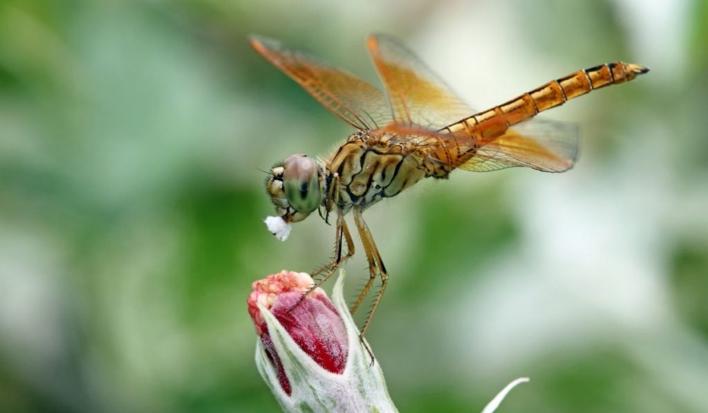 Dragonflies eating