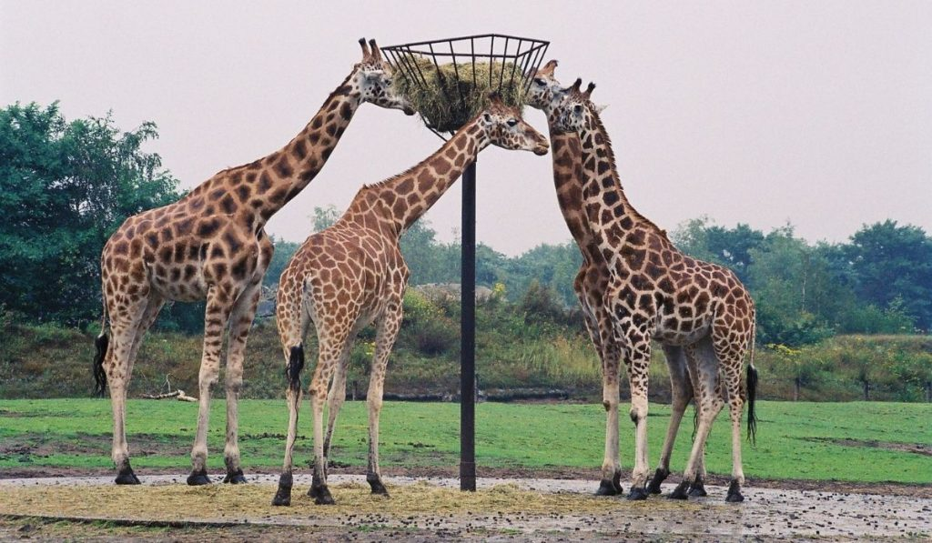 Group of giraffe eating from a post  with hay