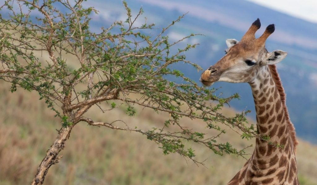 Giraffe eating tree leaves