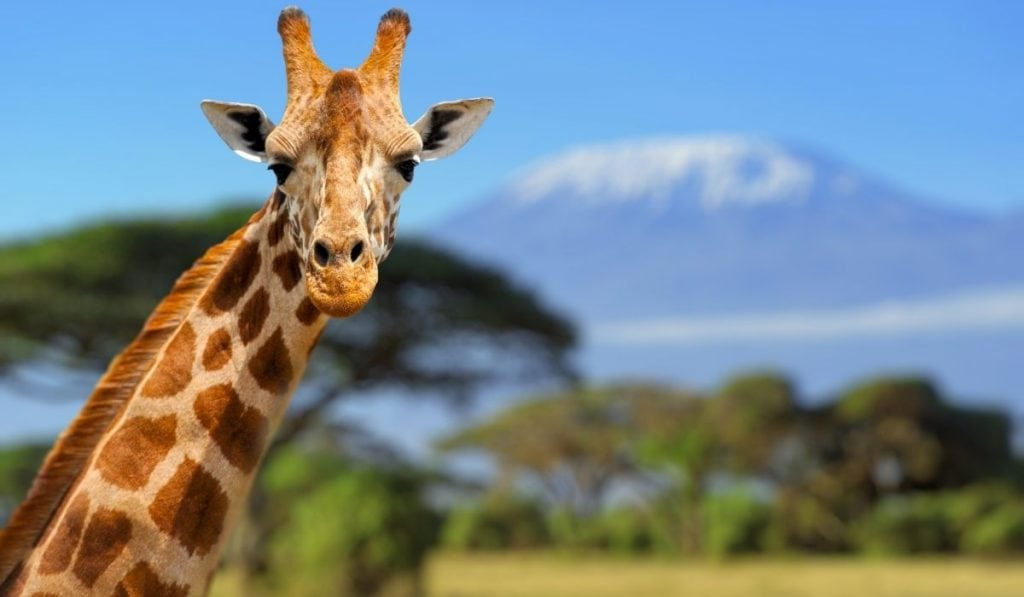Giraffe with african name