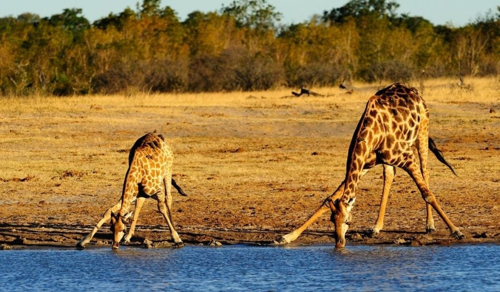 Two Giraffes Drinking in the River