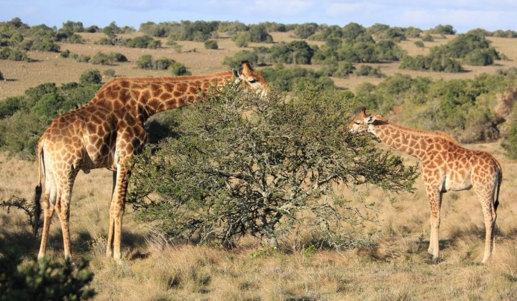 Two Giraffes Eating