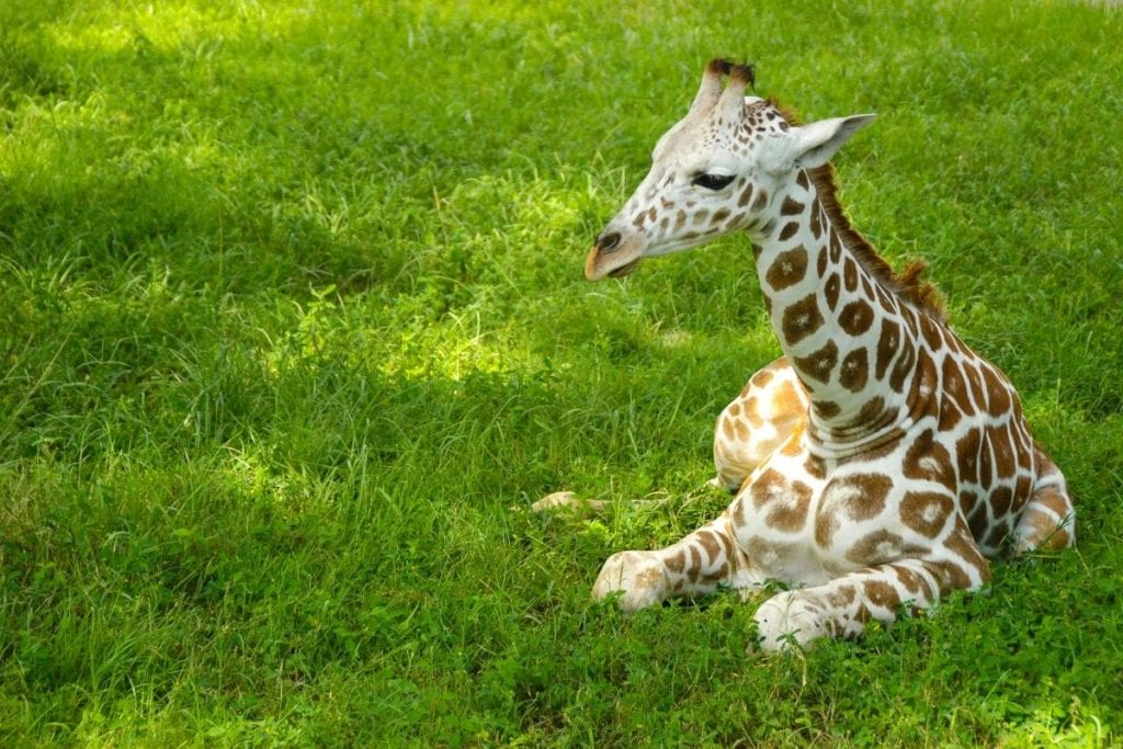 baby giraffe that should not be riding
