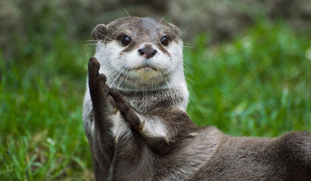 Clapping Otters