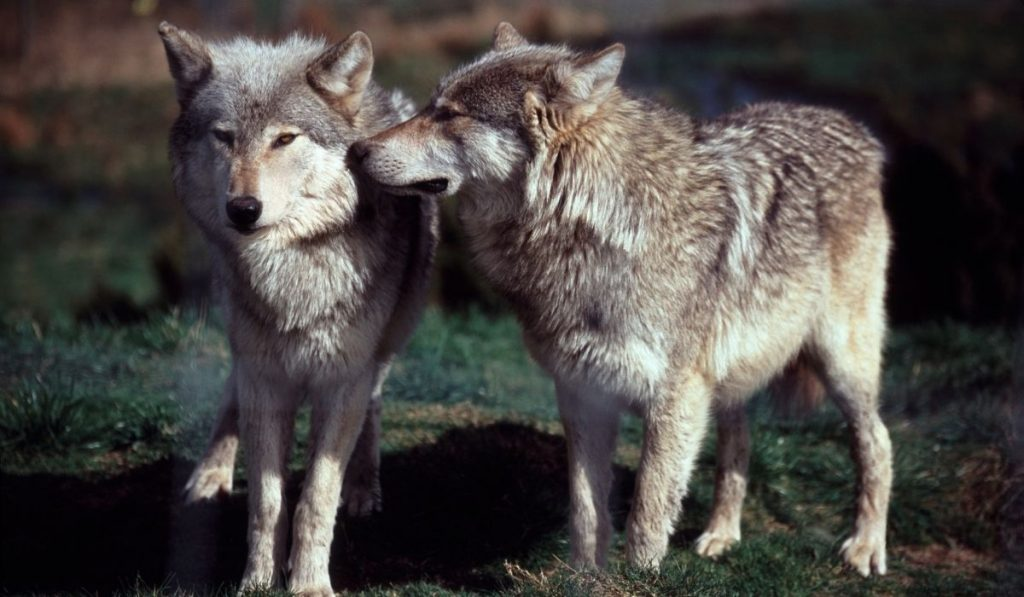 Grey Wolves smelling