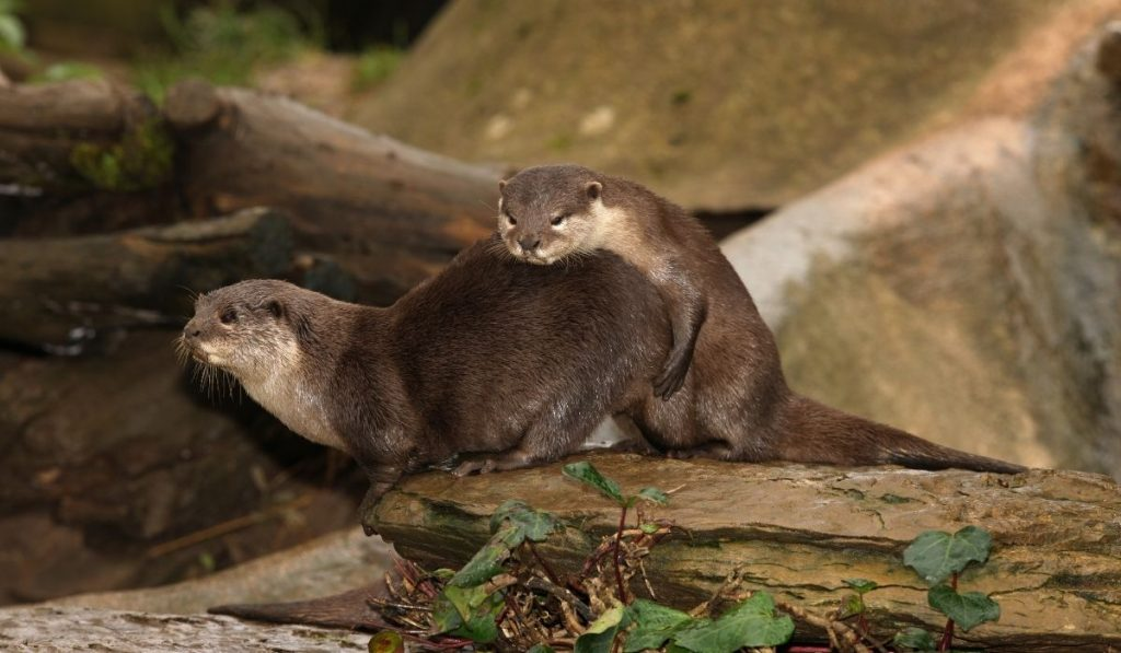 Otters' Mating