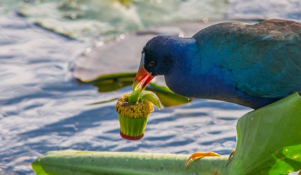 Purple Gallinule eating