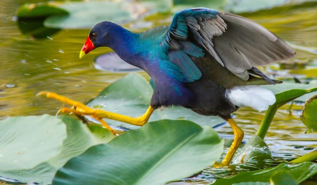 Purple Gallinule on Swamp