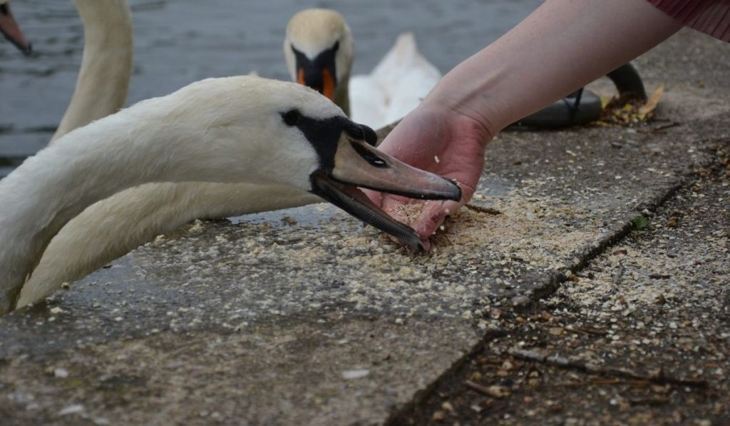 Swans being hand fed