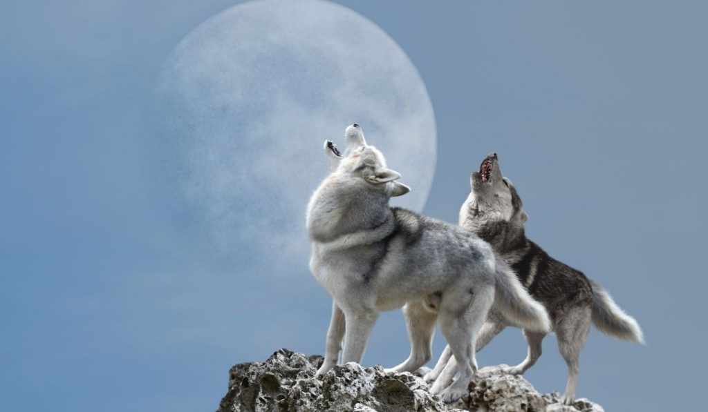 Two wolves howl at the moon