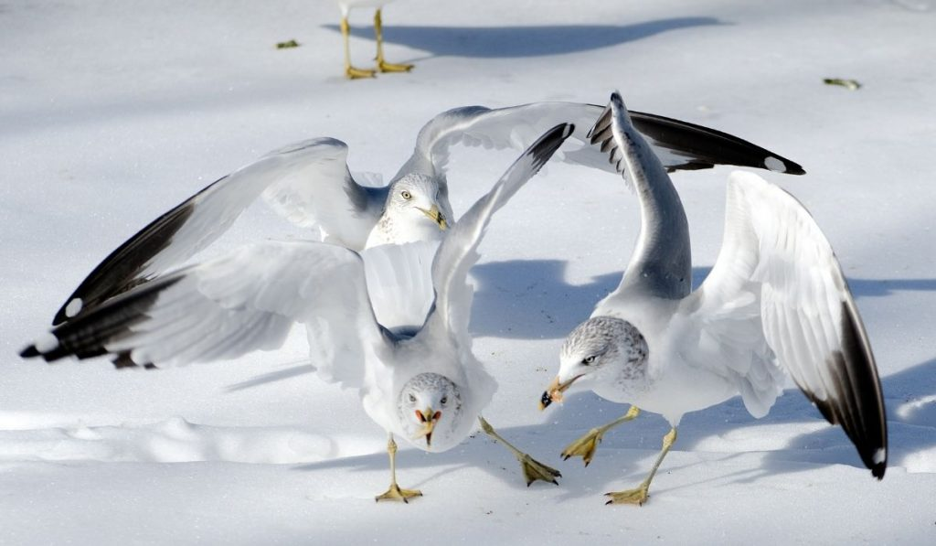 Winter Seagulls