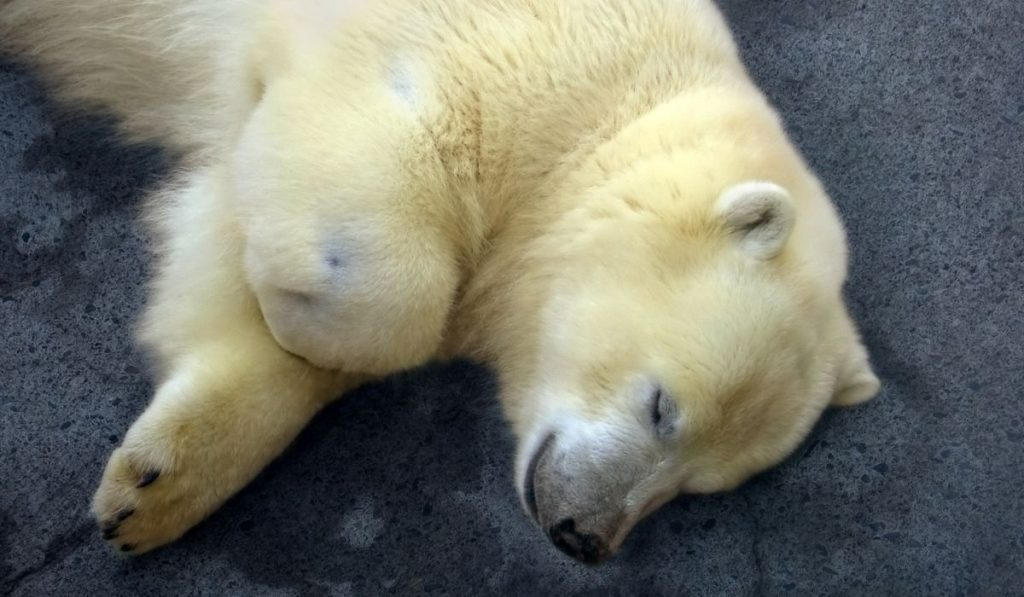 baby polar bear sleeping