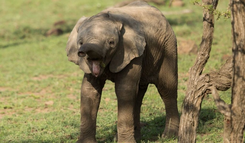 baby elephant with mouth wide open