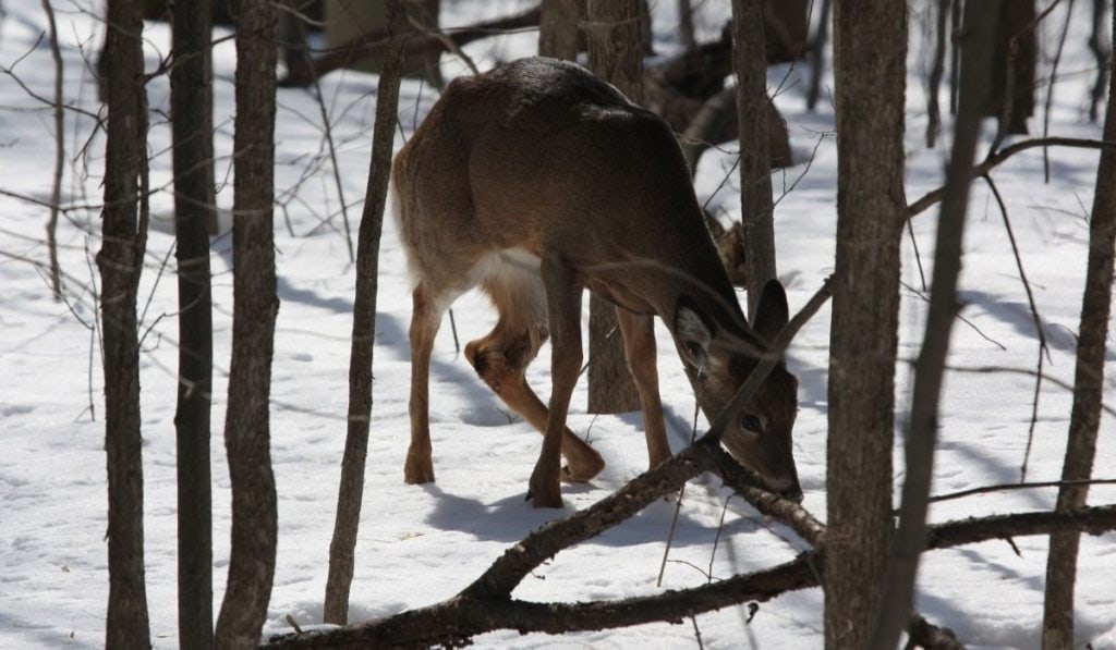 deer in the snow with a broken leg