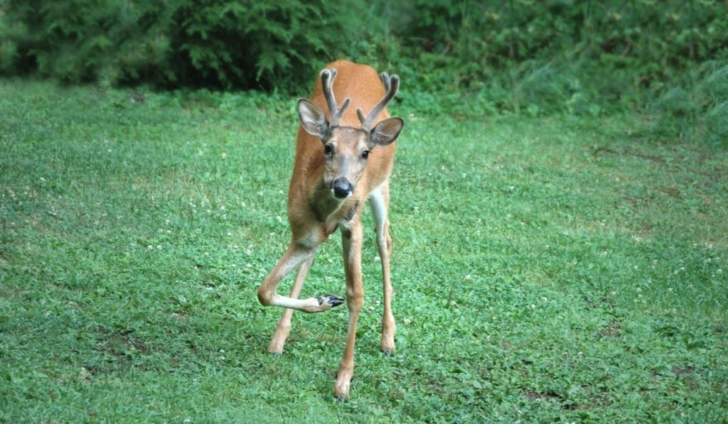 deer with a broken leg