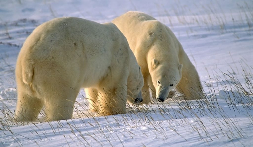 male and female polar bear looking for food