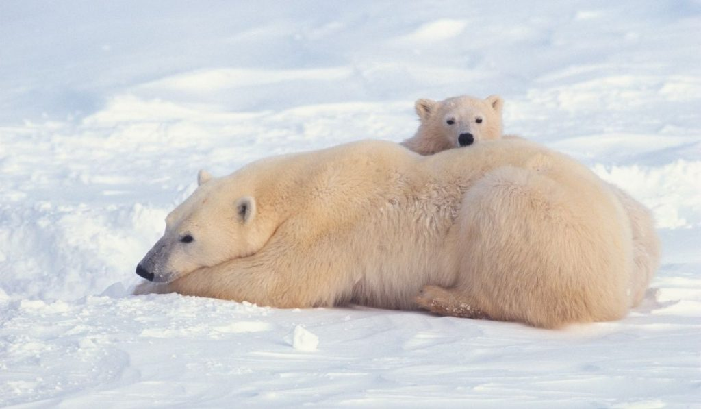 mommy and baby polar bear relaxing