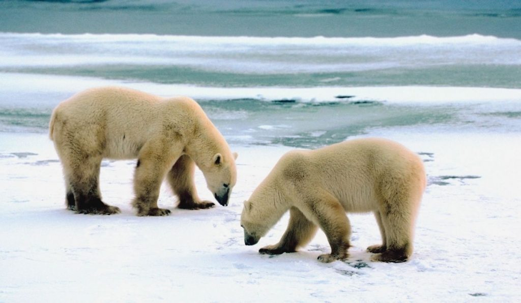 two polar bears searching for food