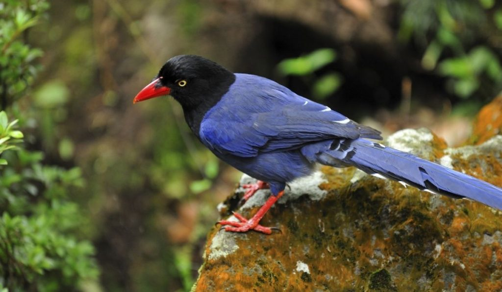 Blue Magpie Bird