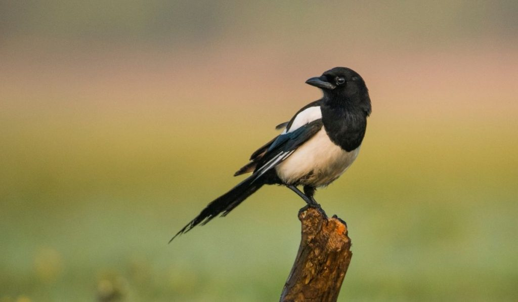 Female Magpie Bird