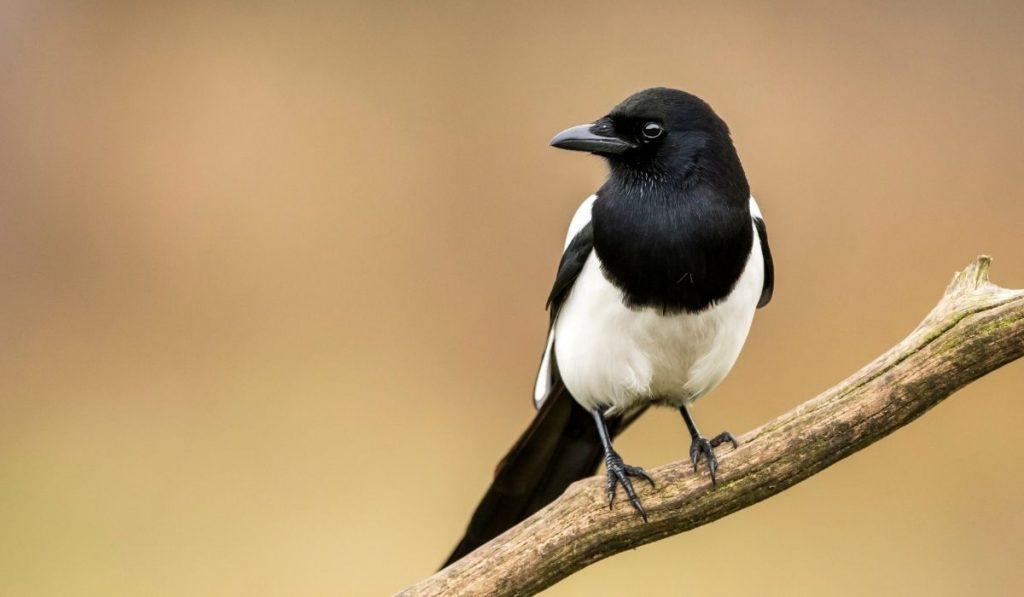 Magpie Bird Standing on branch