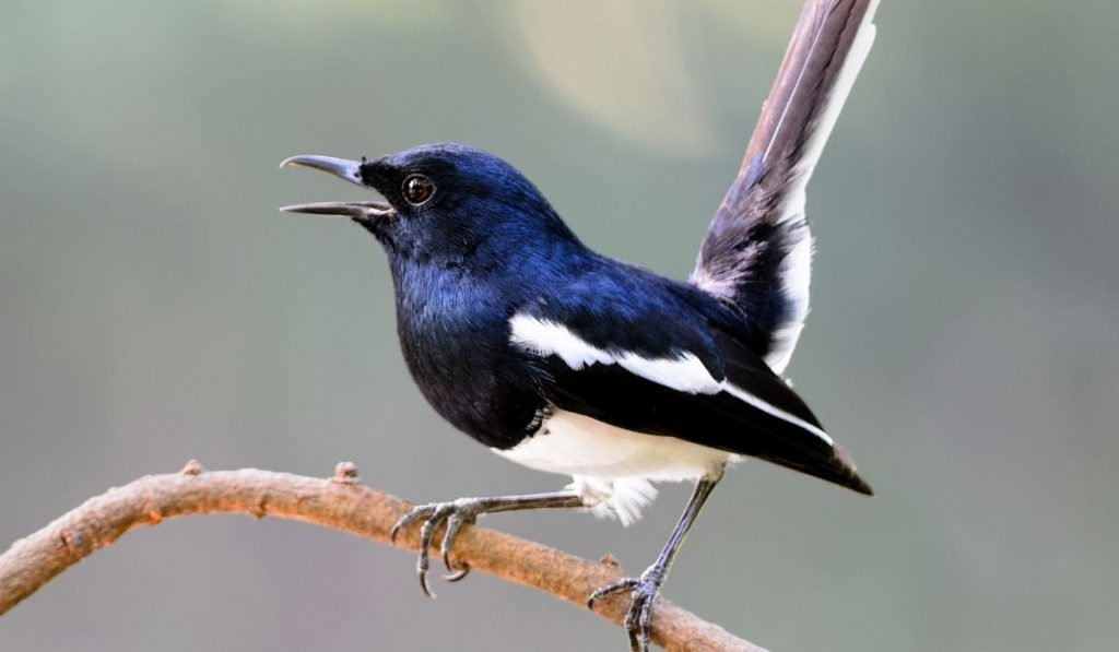 Male Magpie Bird