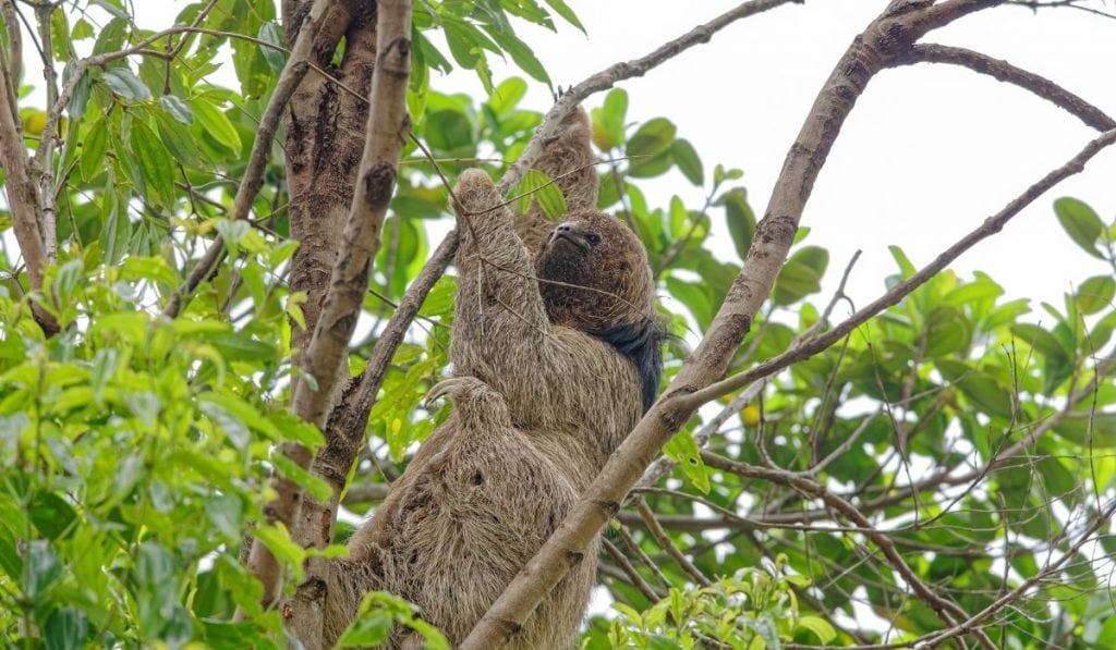 maned three-toed sloth