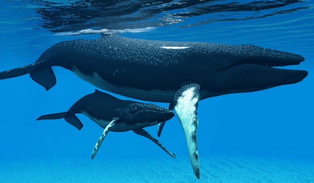 mother whale and baby whale under water