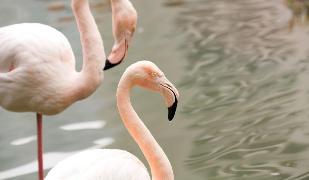 two flamingos on the water
