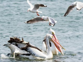 Pelicans-and-Seagulls