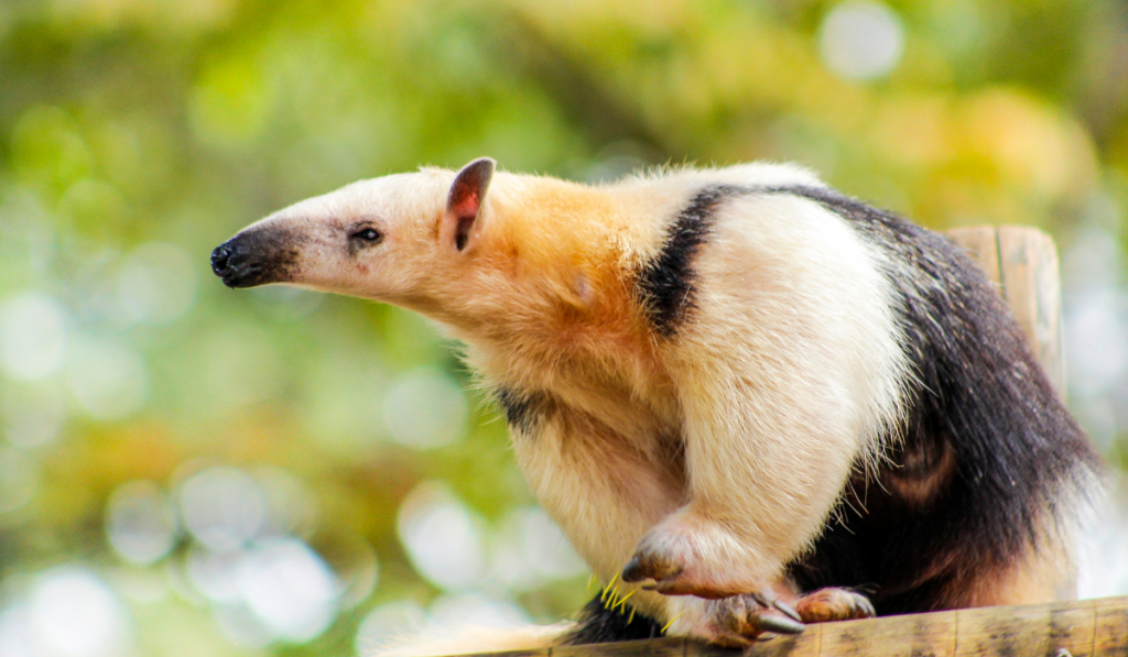 Anteater sitting on top of the fence