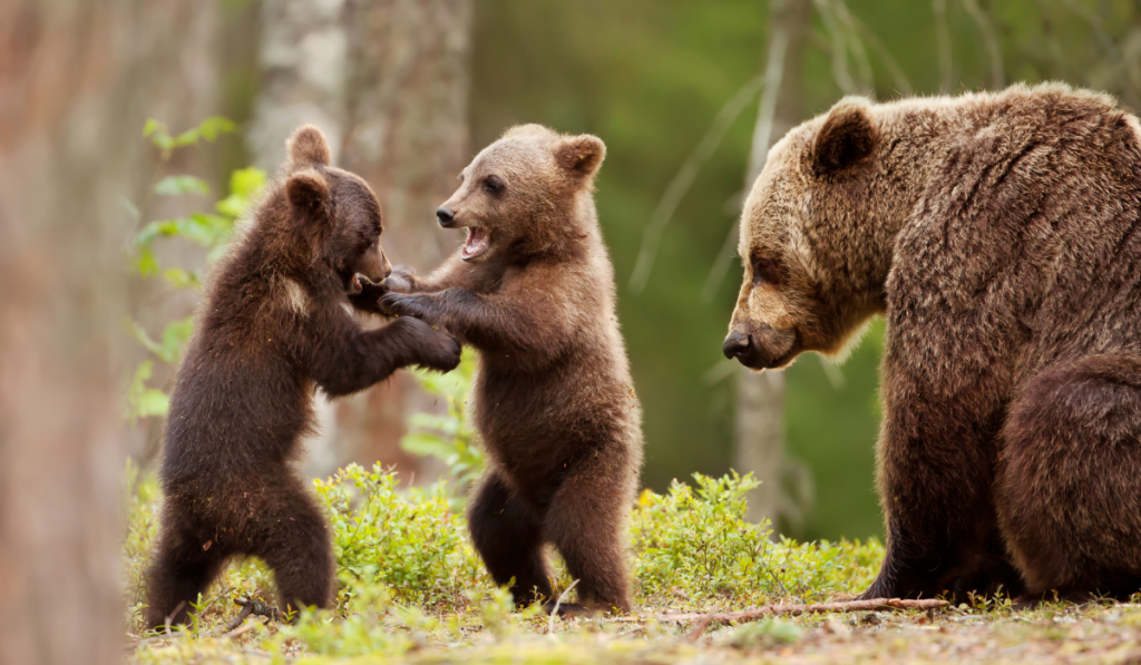 Female Bear and her cubs playing on the woods