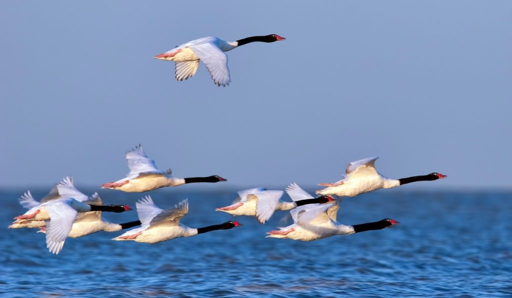 Black-necked Swans flying over water