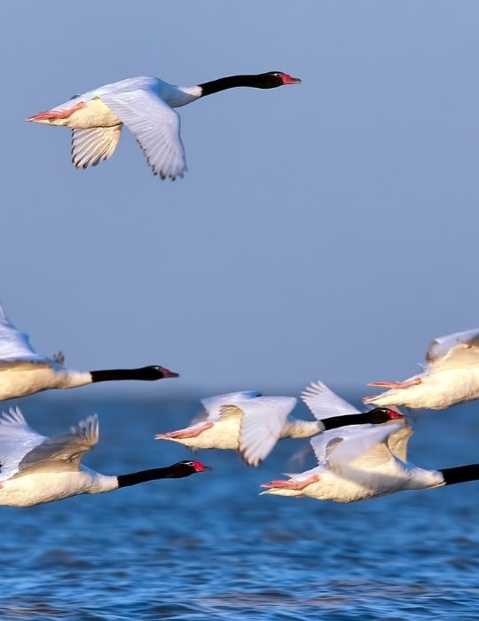 Black-necked-Swans-flying-over-water