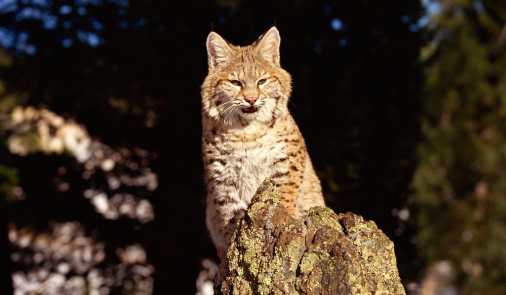 Bobcats standing on the rock
