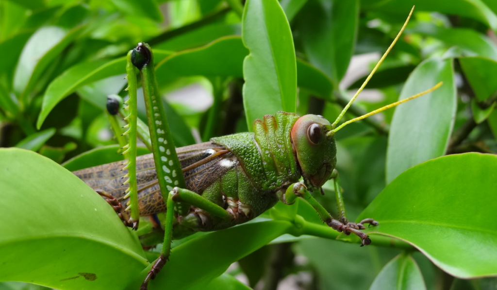 Cicada standing on the green leaf