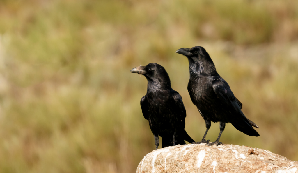 Crows standing on the rock