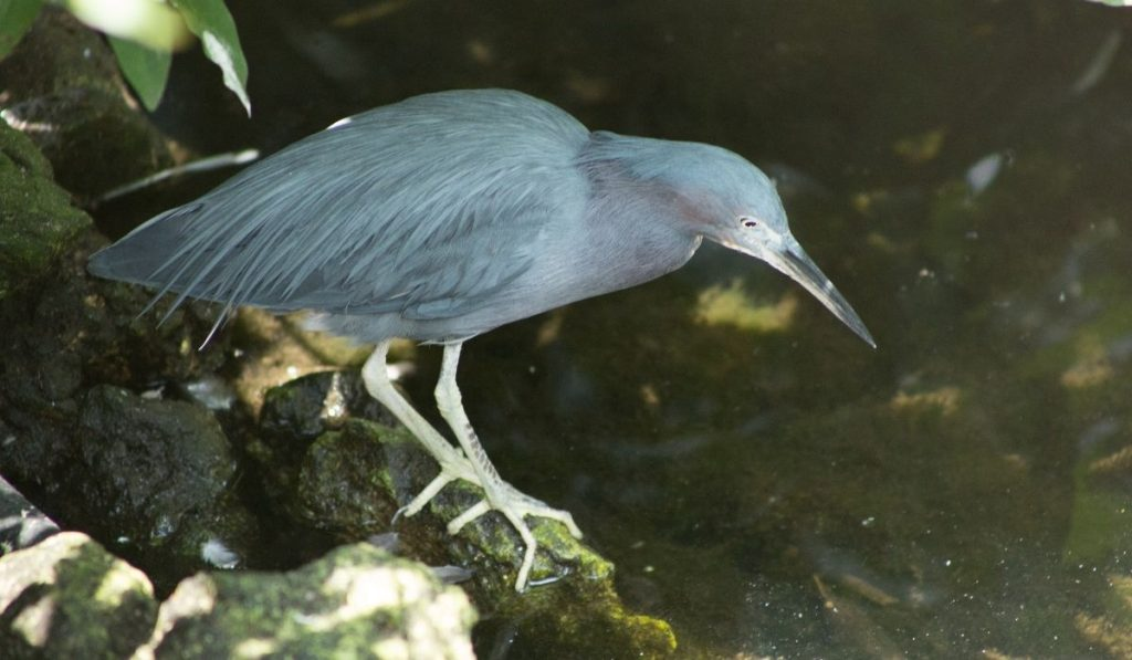 Little Blue Heron standing on the rock beside the spring