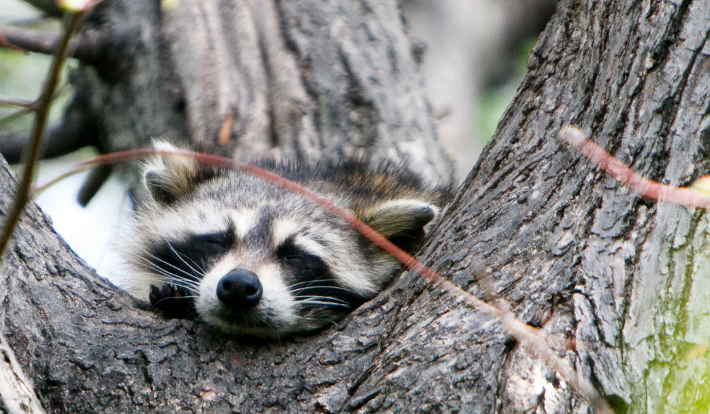 Raccoons resting on a tree trunk fork