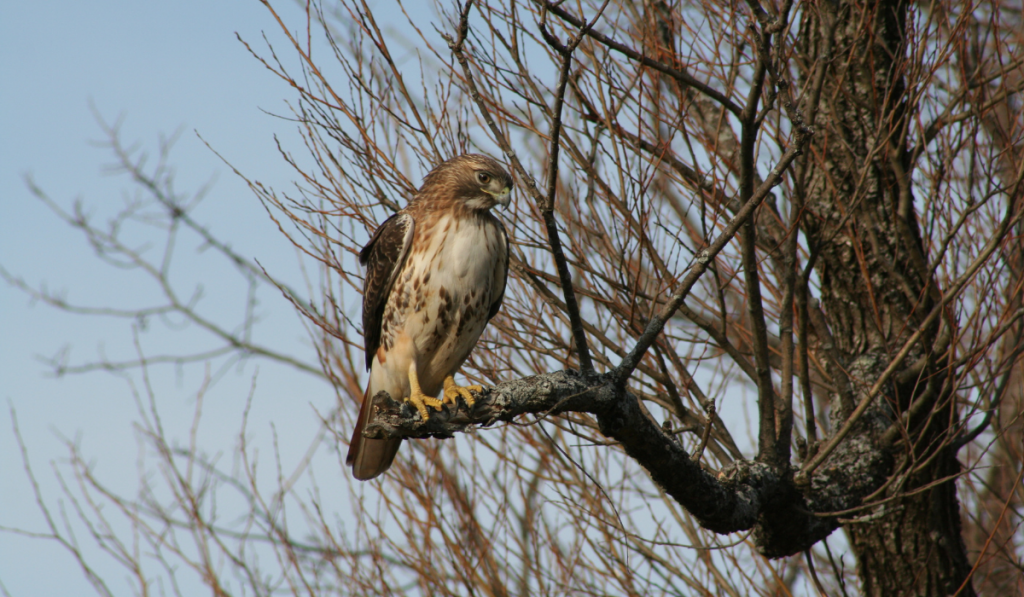 Red-Tailed Hawks standing on a trunk